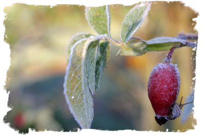 Magic-frost on rose hips