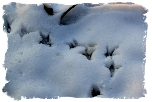 Snow footprints - bird