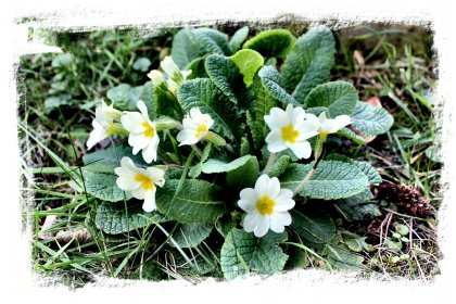 Primroses, early blooms on the bank ©vcsinden2012