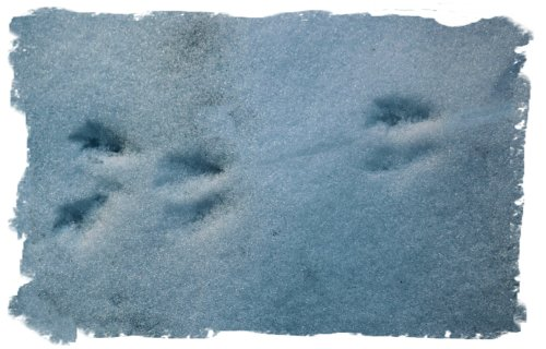 Snow footprints- rat
