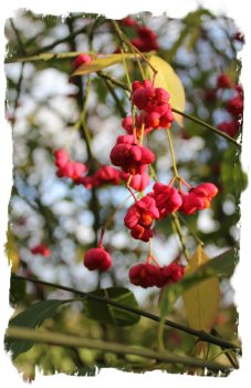 Spindle berries in December sunshine - Hurst Wood, Charing ©vcsinden2011