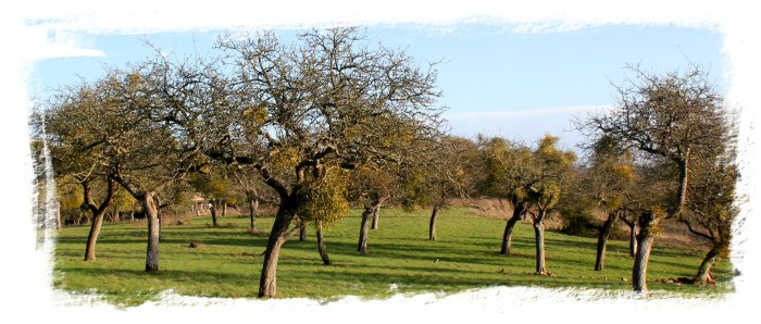 Mistletoe in the apple orchards, Worcestershire, England ©vcsinden2011