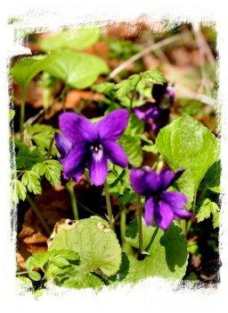 Dark violets, sweetly scented ©vcsinden2012