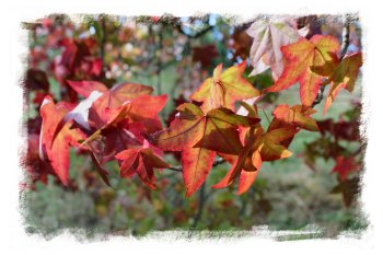 Sweet gum leaves in October ©vcsinden2012