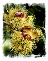 Chestnuts at Hothfield Common ©vcsinden 2012