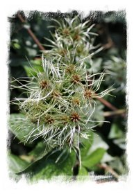 Old Man's Beard in the hedgerow, Charing, Kent ©vcsinden 2012