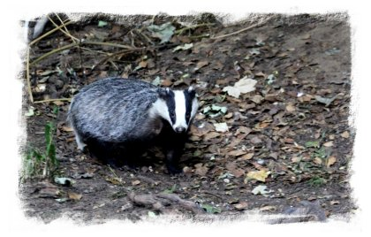 Woodland badger ©vcsinden2013