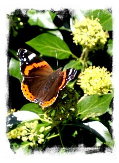 Red Admiral feeding on ivy nectar ©vcsinden2012