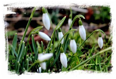 Early snowdrops at Challock Church, Kent ©vcsinden2013