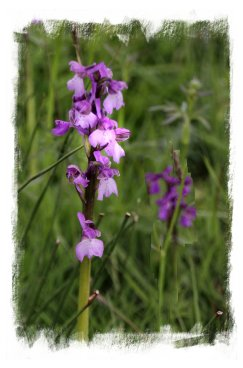 Wild Green-winged orchids in Marden Meadows, Kent ©vcsinden2014