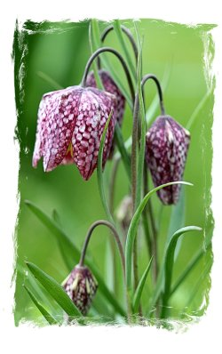 Fritillaria at The Salutation, or Secret Garden, Sandwich, Kent, ©vcsinden2016