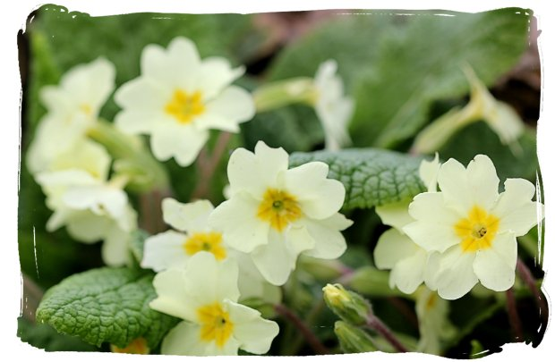 April primroses at The Salutation, or Secret Garden, Sandwich, Kent, ©vcsinden2016