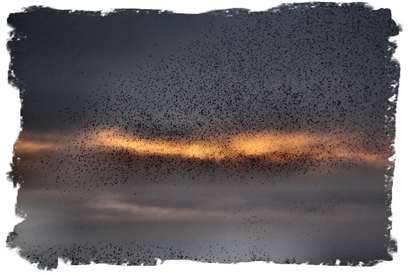 Starling murmuration at sunset on Somerset levels ©vcsinden2016