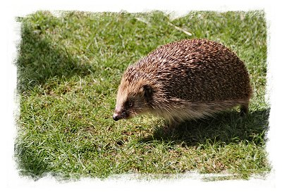 Hedgehog takes the sun, rescued by St.Tiggywinkles © vcsinden 2016