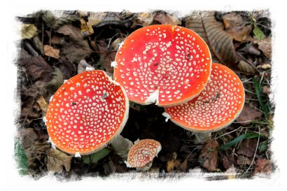Fly agaric in Kingswood ©vcsinden2016