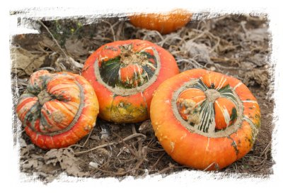 Turks head pumpkins awaiting pick up ©vcsinden2016