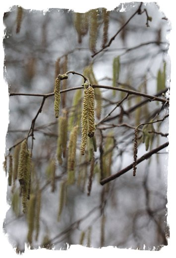 Hazel catkins in mid February ©vcsinden2017