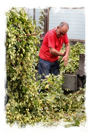 Hop bines for sale - Faversham, Kent ©vcsinden2016