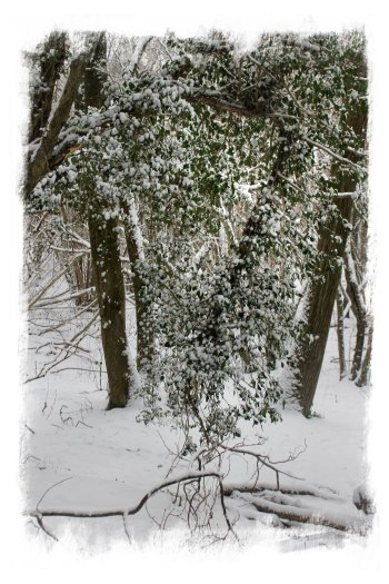 Hurst Wood, Charing - Yuletide ivy (Gort) with a layer of snow - natural sparkle ©vcsinden2013