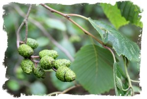 Alder cones, green and new in mid summer