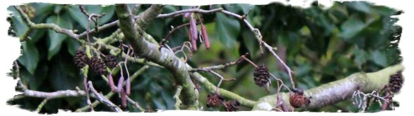 Alder Tree - fearn - in November