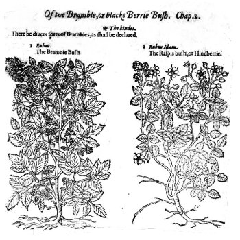 Bramble - blackberry. A page from John Gerrard's 'Great Herbal'