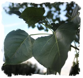 Black Poplar leaves ©vcsinden2013