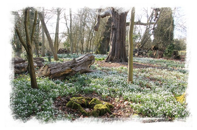 Mere House, Kent - snowdrops in the woods ©vcsinden2015
