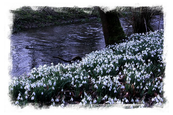 Welford Park Snowdrops on Eco-enchantments ©vcsinden2015