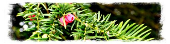 Yew twig with berries ©vcsinden2012