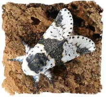 Alder Kitten Moth - photo credit Alan Kimber