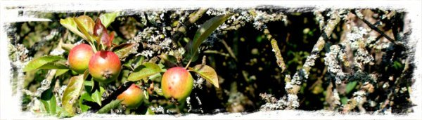 Ancient apple tree - quert ©vcsinden2011