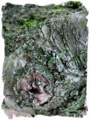 Apple tree bark vcs
