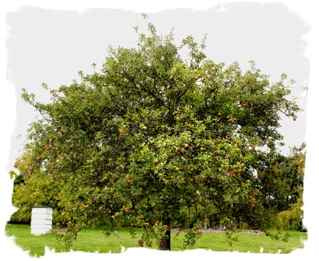 Apple orchard, Sissinghurst Gardens, Kent ©vcsinden2011