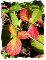 Blackberry or bramble  leaves
