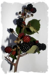 Blackberry twig in August ©vcsinden2011