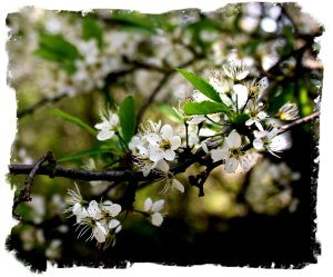 Blackthorn blossom - unlucky for some ©vcsinden2011
