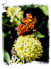 Comma butterfly attracted to ivy flowers in early Autumn ©vcsinden2012