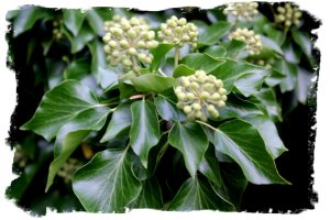 Ivy with unripe berries