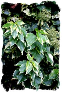 Ivy with variegated leaves