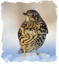 Mistle Thrush © Mike Atkinson, bird photographer