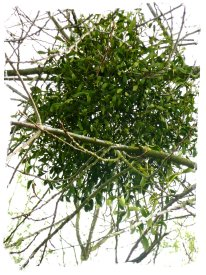 Mistletoe ball growing on winter tree ©vcsinden