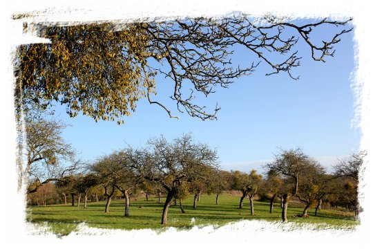Mistletoe in a Worcestershire apple orchard ©vcsinden2011