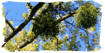 Mistletoe, in autumn, Baden Baden ©vcsinden