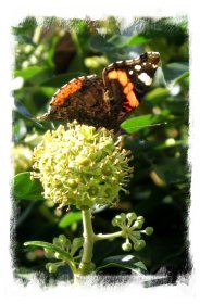 Red Admiral attracted to ivy flowers in early autumn ©vcsinden2012