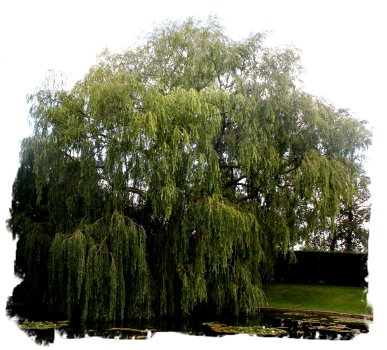 Weeping Willow in the gardens of Godington House, Kent