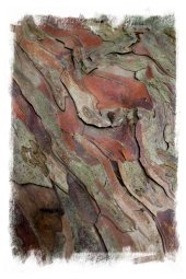 Yew - ancient bark ©vcsinden2012