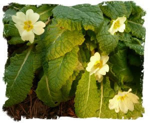 English primroses in mid January. Flowering in Muddypond Green's Hurst Wood, on the Neighbourhood Bank.