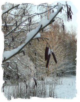 Ogham tree in the snow in Muddypond Green magic wood