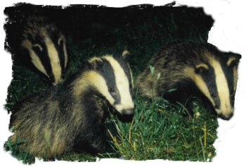 Badgers about 12 weeks old